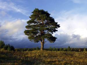 Сосна. Как зарядиться от деревьев